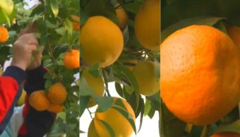 Un bărbat din Ialoveni a plantat lămâi, mandarini și portocali în propria grădină