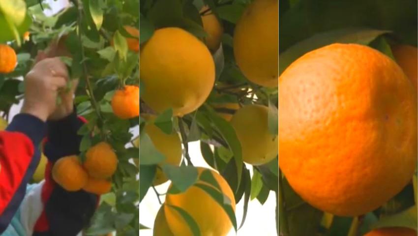 Foto: Un bărbat din Ialoveni a plantat lămâi, mandarini și portocali în propria grădină