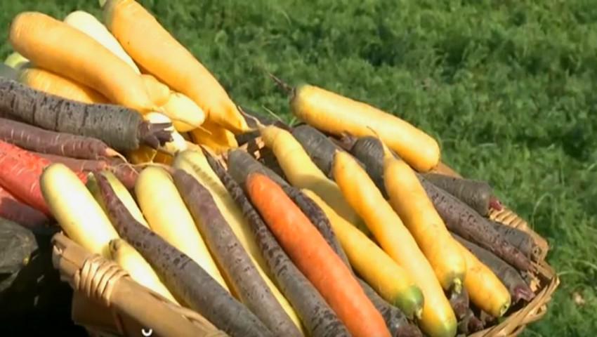 Foto: O familie din raionul Anenii Noi cultivă morcovi roz, albi, galbeni, dar şi roşii
