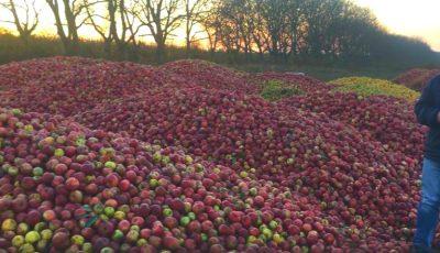Tone de mere la Dondușeni, cumpărate cu doar 1,60 lei kilogramul