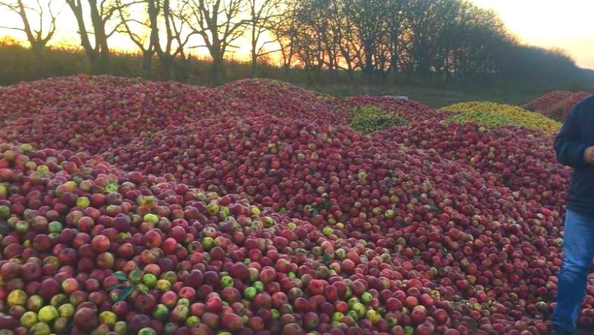 Foto: Tone de mere la Dondușeni, cumpărate cu doar 1,60 lei kilogramul