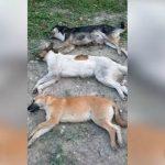 Foto: Mai mulți câini otrăviți, pe o stradă din Ceadâr-Lunga