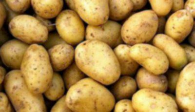 95% din loturile de cartofi care ajung în Moldova sunt infestate cu o bacterie patogenă