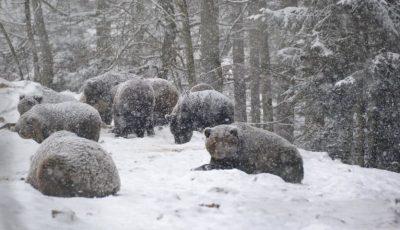 În Carpați, din cauza vremii călduroase, urșii nu pot adormi