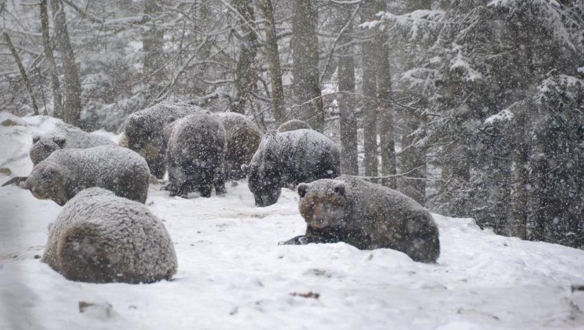 Foto: În Carpați, din cauza vremii călduroase, urșii nu pot adormi