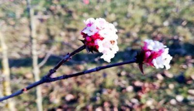 În Moldova înflorește sakura, în mijlocul lunii ianuarie