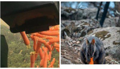 Australia aruncă o tonă de legume din elicopter pentru animalele care au supraviețuit incendiului