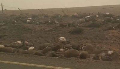Mii de cadavre de canguri și urși koala, filmate pe o șosea din Australia