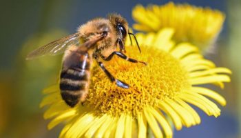 Iarnă caldă, periculoasă pentru albine. Micile viețuitoare ar putea dispărea