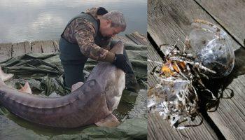 Un sturion dintr-un lac din România a fost salvat. Plastic şi rafie, în gura peştelui