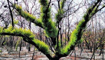 Australia: Cum învie pădurile după marile incendii?