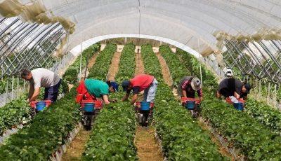 Strigăt disperat: Marea Britanie are nevoie de 90.000 de muncitori în sectorul agricol