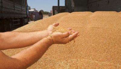 Îngrijorător. Din Moldova sunt scoase cantități mari de grâu, în ciuda secetei puternice
