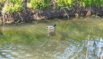 Carantină Covid: Pe apa limpede a râului Bâc au apărut rățuște sălbatice