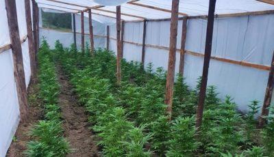 Seră pentru cultivarea cânepii la Hâncești. Cinci bănuiți au fost reținuți