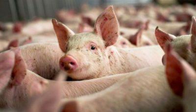 Opt cazuri de pestă porcină au fost înregistrate pe teritoriul Moldovei