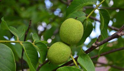 Până la 80% din pomii de nuci sunt afectați de secetă și înghețuri