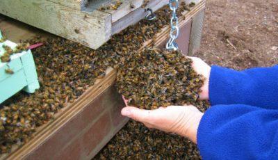 Doi apicultori își caută dreptatea după ce și-au găsit prisăcile pline cu albine moarte