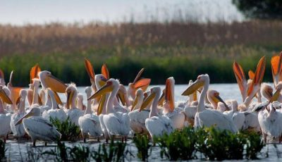 Video! Pe un lac din sudul Moldovei au fost filmați sute de pelicani