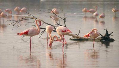 Spectaculos! Zece păsări flamingo roz au poposit în Delta Dunării