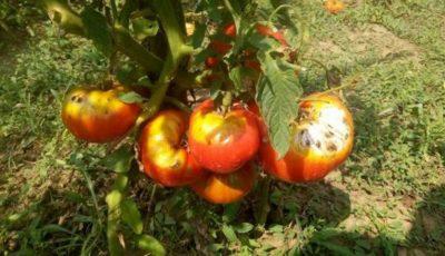 Specialiștii atenționează: culturile de roșii pot fi afectate în acest an