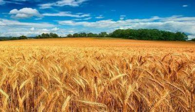 În acest an, Moldova va avea cea mai mică recoltă de grâu