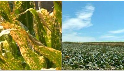 Lanuri de porumb, varză și floarea-soarelui, arse de erbicide într-o localitate din Moldova