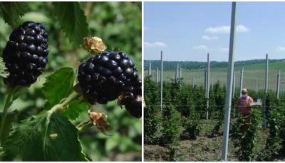 Moldoveanul care a lăsat capitala și a deschis o afacere de 2 hectare cu mure, în satul Pepeni, raionul Sîngerei