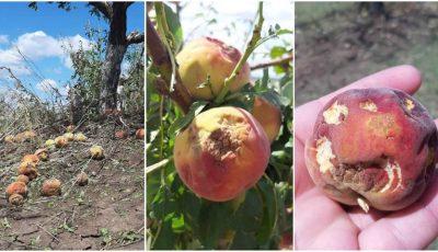 Imagini dureroase. O livadă imensă de piersici și mere, distrusă total de grindină în sudul țării