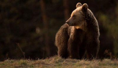 O ursoaică își caută disperată puii. Aceștia au fost uciși de tren
