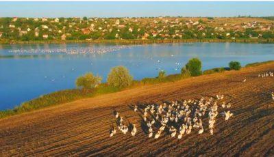 Imagini ce-ți taie respirația! Un cârd de pelicani a făcut popas lângă Chișinău