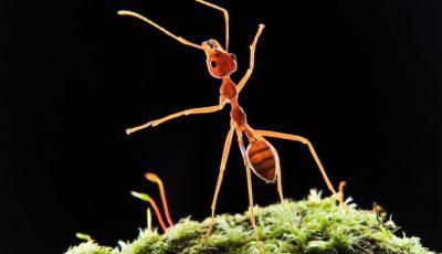 Izolăm grupul sau eliminăm bolnavul? Cum procedează furnicile în cazul epidemiilor
