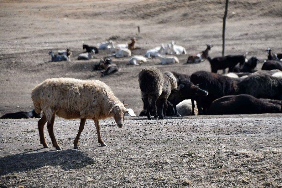 Secetă cumplită în Moldova. Oamenii își sacrifică animalele