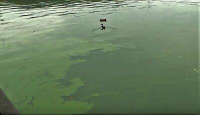 Îngrijorător. Apa din lacul Valea Morilor, acoperită de un strat verde