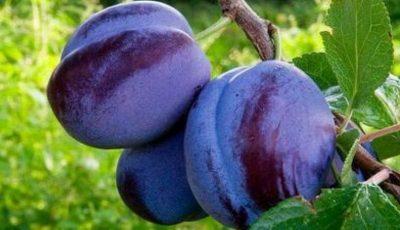 Circa 20 de tone de prune moldovenești au ajuns în Italia. Importatorul italian, mulțumit de calitatea fructelor