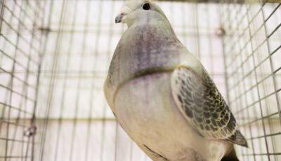Un porumbel scos la licitație cu 200 de euro s-a vândut cu 1,6 milioane