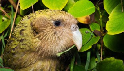 Cel mai gras papagal din lume a primit titlul Pasărea anului 2020