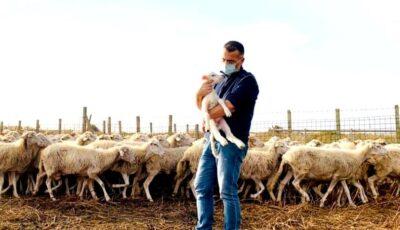 Un primar din Italia s-a dus pe câmp cu oile, ca să-i țină loc ciobanului bolnav de Covid-19