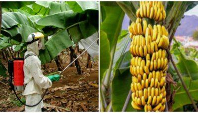 Culturile de banane stropite cu o substanță toxică au îmbolnăvit mii de oameni