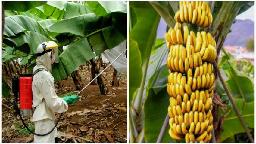 Foto: Culturile de banane stropite cu o substanță toxică au îmbolnăvit mii de oameni