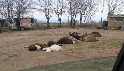 O haită de lupi a făcut prăpăd la Florești