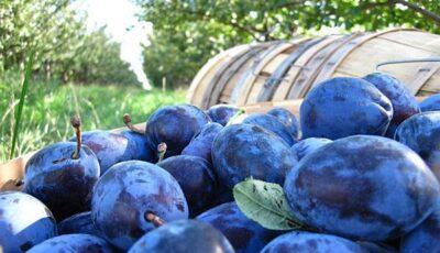 Încă 20 de tone de prune moldovenești, distruse în Federația Rusă