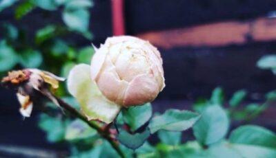 Înfloresc trandafirii… de Revelion