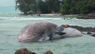 Balenă uriaşă de 11 metri, descoperită fără suflare pe o plajă din Thailanda