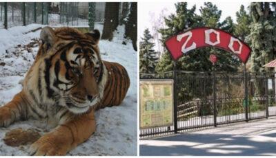 Angajat al Grădinei Zoologice din Chișinău, atacat de un tigru. Starea bărbatului este foarte gravă