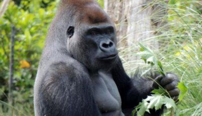O gorilă de la grădina zoologică din Praga, infectată cu Covid-19. Ce simptome are