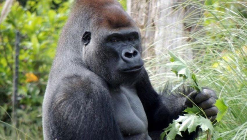 Foto: O gorilă de la grădina zoologică din Praga, infectată cu Covid-19. Ce simptome are