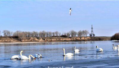 Frumusețe pe râul Nistru: un  stol de lebede iernează în Moldova!