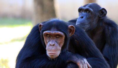 O infecție misterioasă ucide cimpanzeii din Africa de Vest