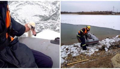 Foto! O lebădă blocată în gheața râului Prut, a fost salvată